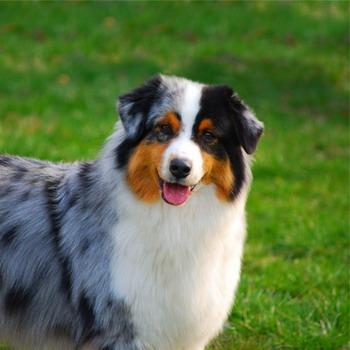 аусси собака характеристика