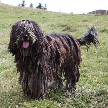 Бергамаско порода собак