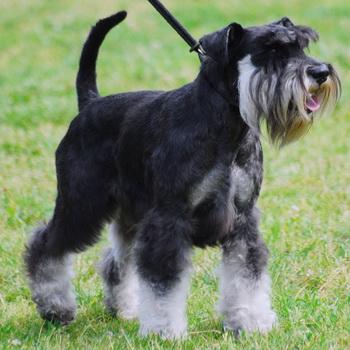 собаки шнауцеры фото разновидности