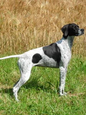 Пойнтер: фото, описание породы собак, характер, особенности хвоста у пойнтера, история породы