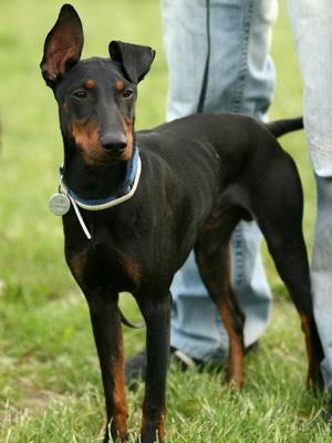 Манчестерский терьер: фото собак, характер и описание терьера