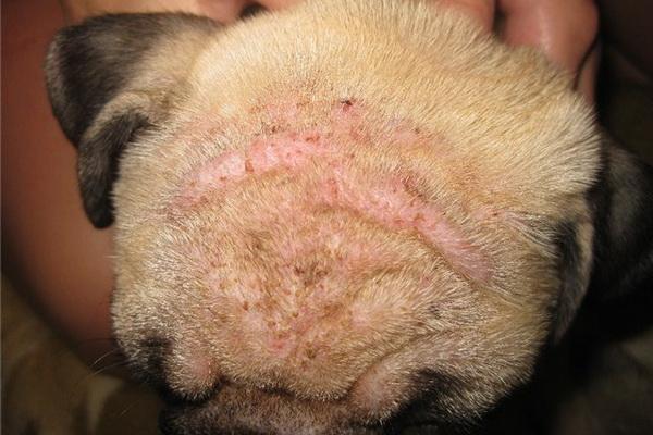 Чесотка у собак – симптомы и лечение в домашних условиях 2019