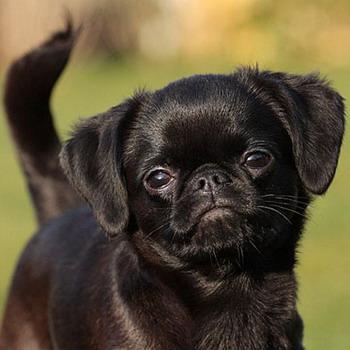 собаки грифоны фото щенки