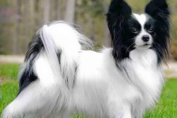 Бабочка порода собак