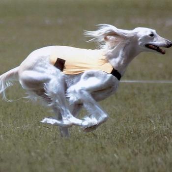 Описание породы собак Салюки с отзывами владельцев и фото