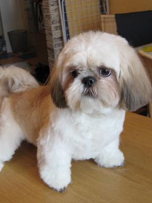 Ши тцу порода собак