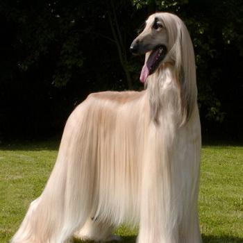 порода собак русская борзая фото