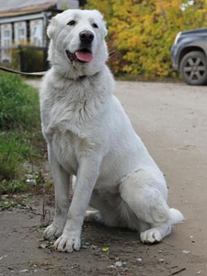 Большая порода собак алабай, описание и фото среднеазиатской овчарки