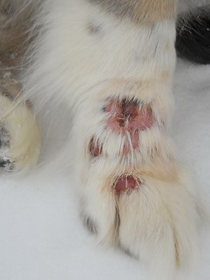 Фукорцин при дерматите у собак
