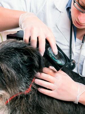 Кожные заболевания у собак дерматит thumbnail