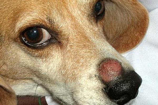 Механический дерматит лечение у собак