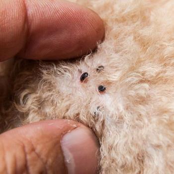 внутрикожные паразиты собак