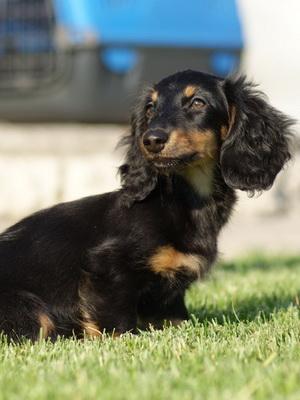 Собака такса: фото и описание породы, виды и типы такс, характер собаки такса