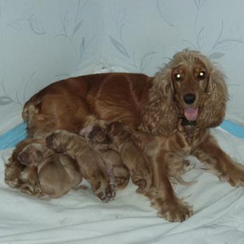 Роды у собак: как начинаются роды, как принять роды, собака после родов