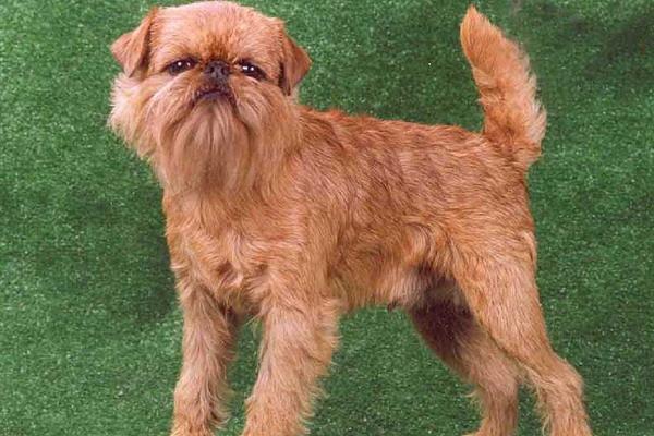Гриффон брюссельский (бельгийский): фото, видео и описание стандарта породы собак, щенки гриффона