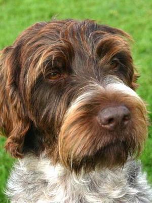 Порода собак гриффон: фото брабантского грифона (брабансона), грифона Кортальса и их щенков