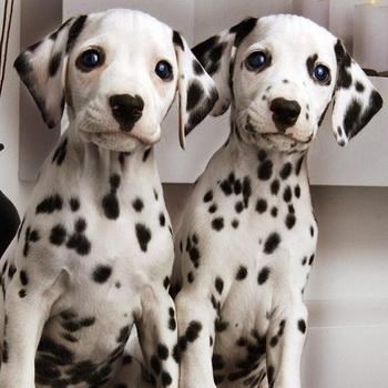 Далматин: фото и видео породы собак, описание стандарта и характера, уход за долматином