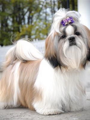 шицу собака фото