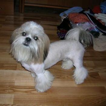 фото порода собак ши тцу