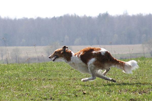 Картинки по запросу фото собака для охота бегущая