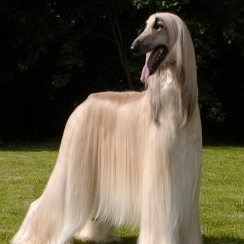 Собака бладхаунд: фото и видео породы, описание собак и их щенков, характер гончей бландхаунд